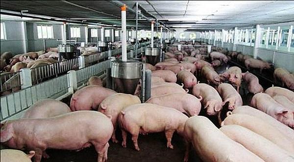 chăn nuôi heo an toàn sinh học