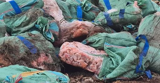 tiêu hủy nội tạng lợn nhiễm tả
